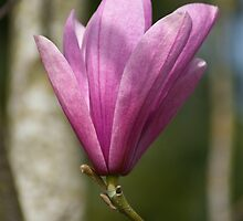 Magnolia by Aler