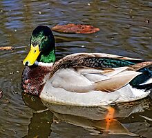 Male Mallard Duck ~ Drake by barnsis