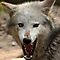 WOLVES OR WOLF SNARLING SHOWING TEETH