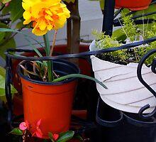 Japanese Daffodil in Alameda-2 by Severinka