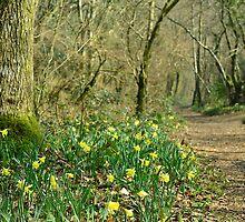 Path through the Daffodils by jonshort58