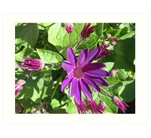 Fascinating Purple - Sunlit Cineraria Flower and Buds Art Print