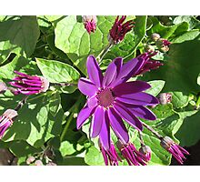 Fascinating Purple - Sunlit Cineraria Flower and Buds Photographic Print