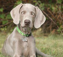 Weimeraner Puppy Eats Grass by lisa hartman