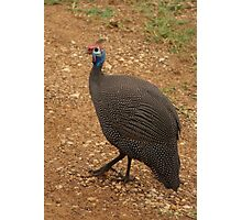 the guinea fowl Photographic Print