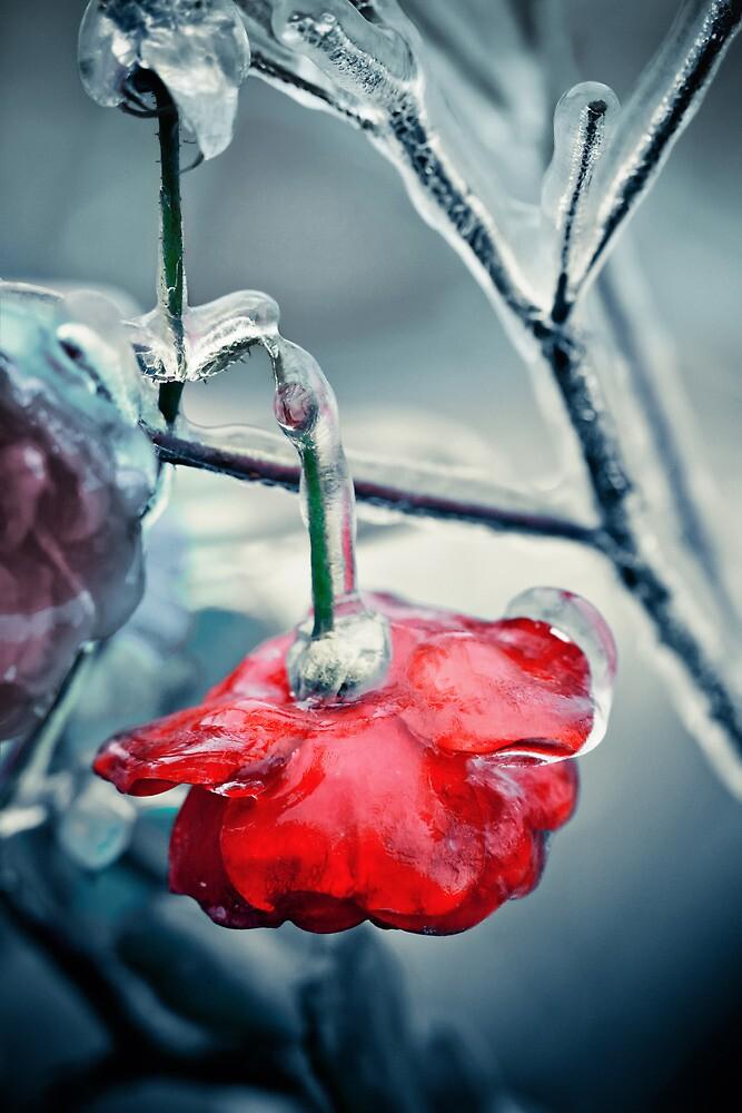 Broken iced rose by DanielVijoi