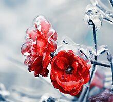 Iced roses by DanielVijoi