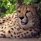 Cheetah by T. Thornton