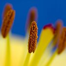 Macro shot of lily stamens  by Jenny1611