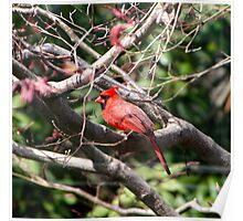 Red Cardinal Among The Branches Poster