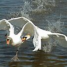 Swan Fight by Robert Abraham