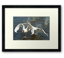 Swan Fight Framed Print