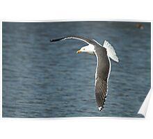 Lesser Black-Backed Gull Poster