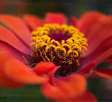 Zinnia by KatMagic Photography