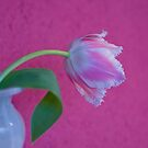 Tulip Lace by DIANE  FIFIELD
