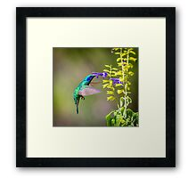 My Secret Garden, Green Violet Eared Hummingbird. Framed Print