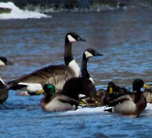 Ducks and Geese by Shawty's Photography