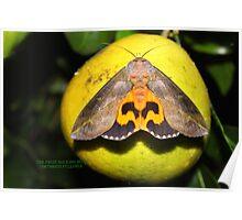 Fruit sucking Moth Poster