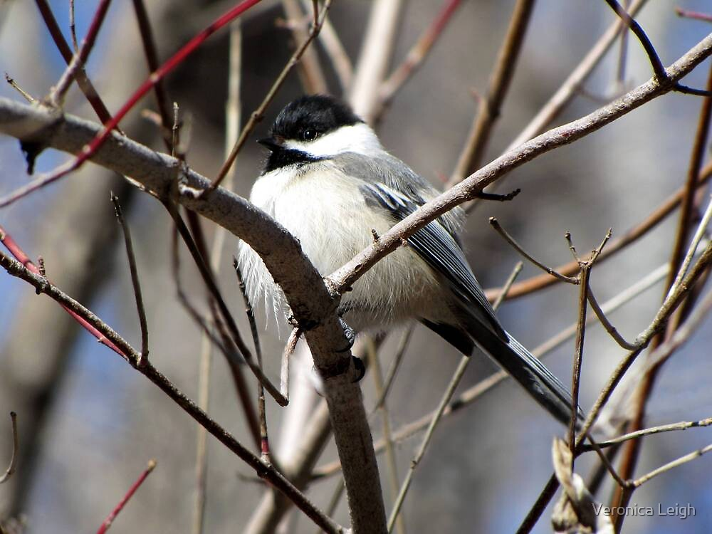 Chickadee by Veronica Schultz