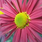 pink daisy by paolo amiotti