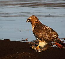 Red-tailed Hawk Eating Fast Food by Robert Miesner