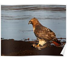 Red-tailed Hawk Eating Fast Food Poster