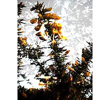 Gorse And Ivy- A Digital Double Exposure Photographic Print