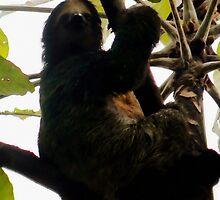 Three-toed Sloth by Robbie Labanowski