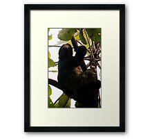Three-toed Sloth Framed Print