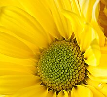 Close Up of Yellow Mum by Garry Gay
