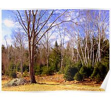White Birches, Green Firs Poster
