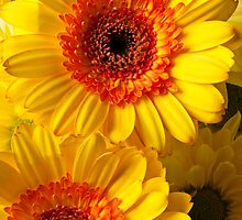 Two Yellow Orange Mums by Garry Gay