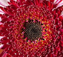 Red Mum Close Up by Garry Gay