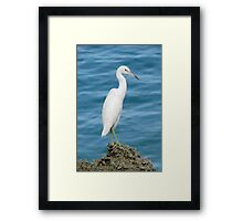 Little Blue Heron (Juvenile) Framed Print