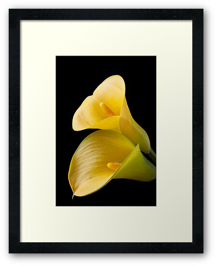 Pair of Yellow Calla Lilies  by Garry Gay