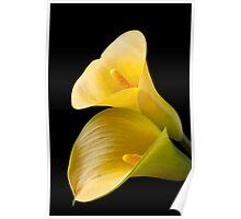 Pair of Yellow Calla Lilies  Poster