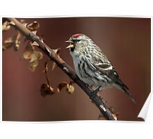 Pointed / Common Redpoll  Poster