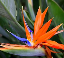 Bird of Paradise II by RebeccaBlackman