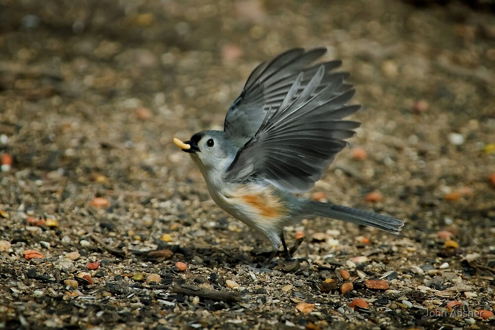 Tufted Titmouse - Going Nuts by John Absher