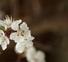 Apricot blossoms by WET-photo