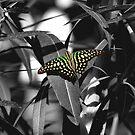 Tailed jay - selective colour by PhotosByHealy