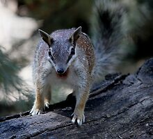 Endangered Numbat by EnviroKey