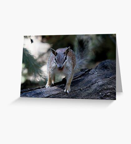 Endangered Numbat Greeting Card