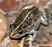 Spotted Marsh Frog by EnviroKey