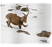 Injured Ibex Poster