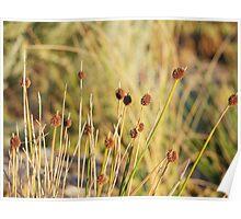 Grass Reeds at Sunset Poster