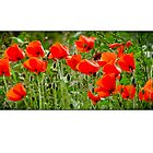 group of poppies in a breeze greetings card by Steve Crompton