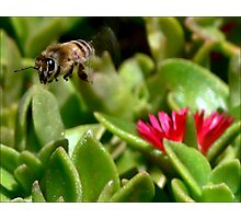 Bee On the Look Out Photographic Print