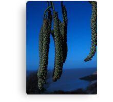 Catkins in Blue Canvas Print