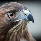 Red Tailed Hawk Portrait by Joe Jennelle